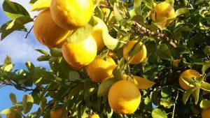 El limonero produce frutos globosos