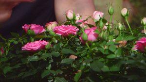 Cuidados del rosal mini