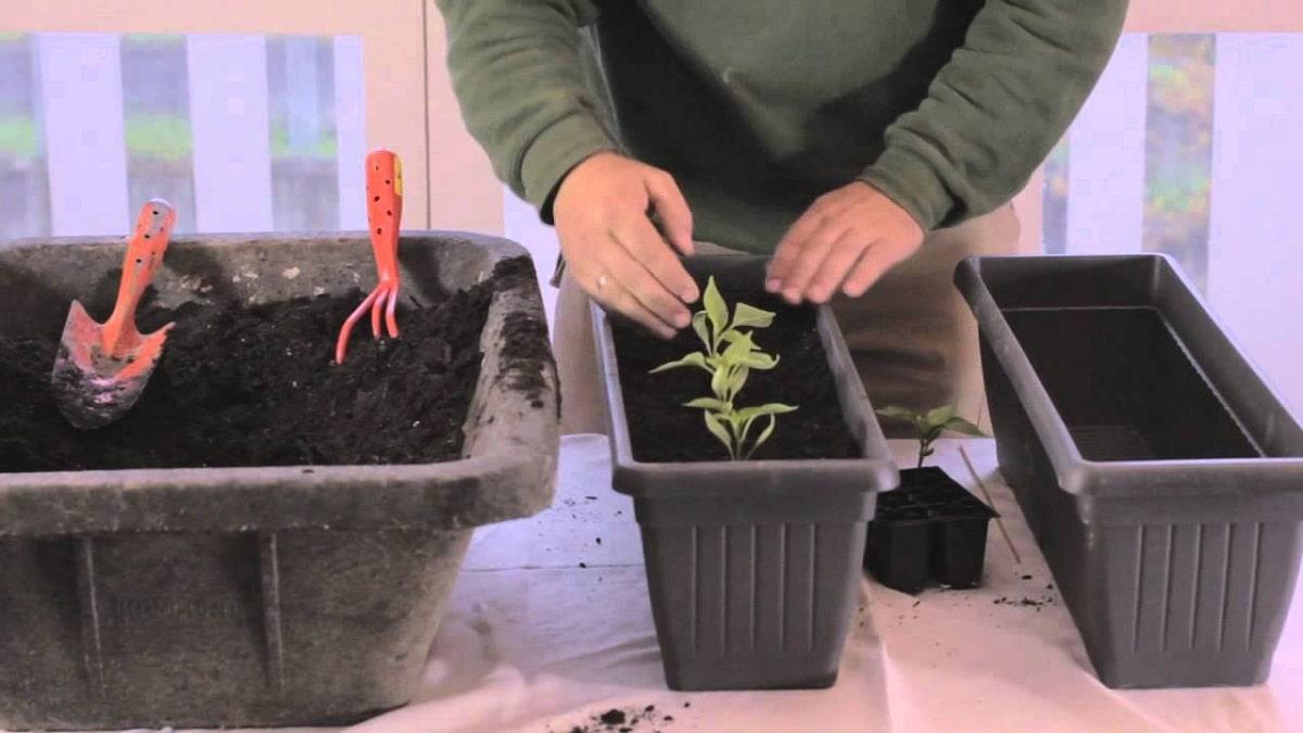 Cultivo de la rucula en maceta
