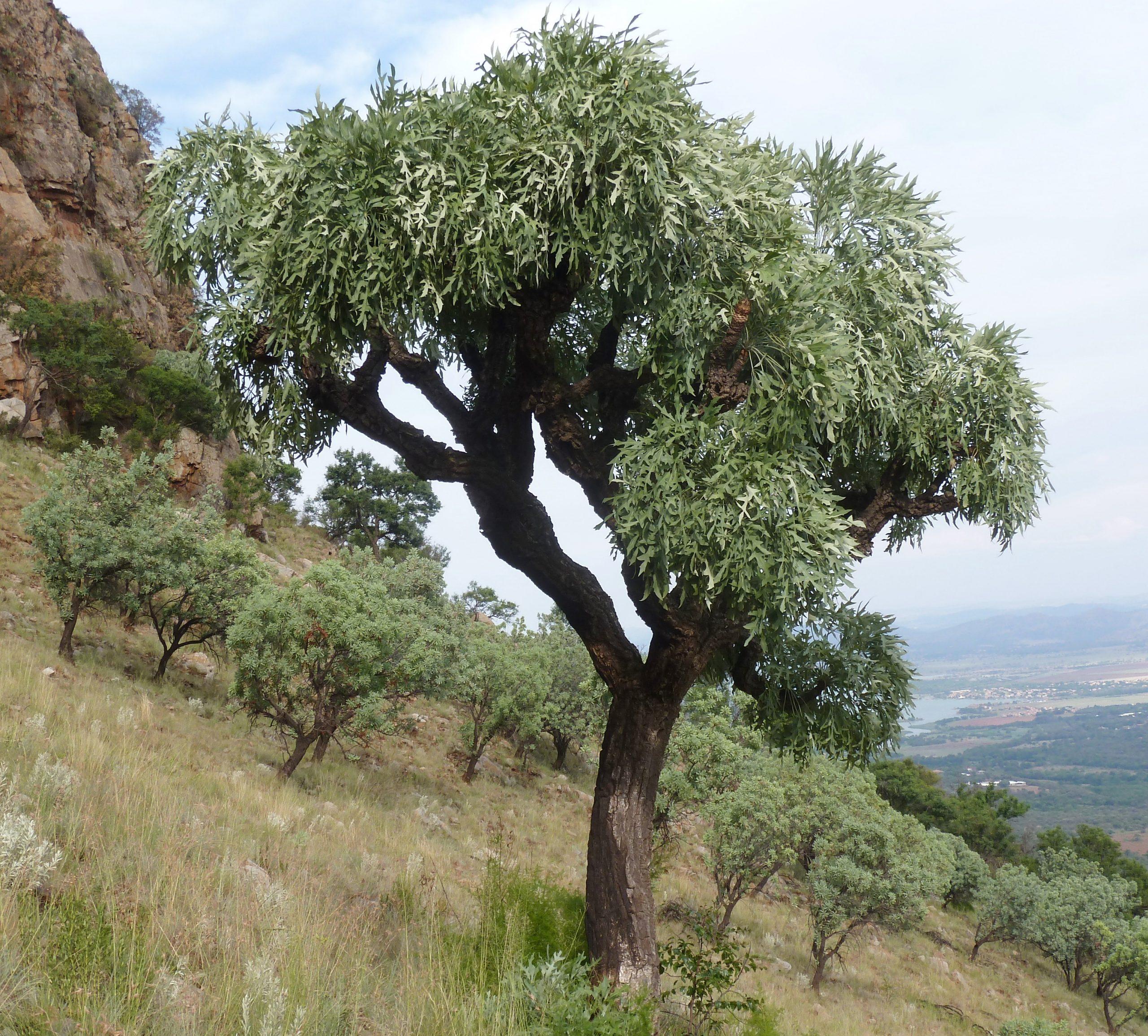 Cussonia paniculata en hábitat