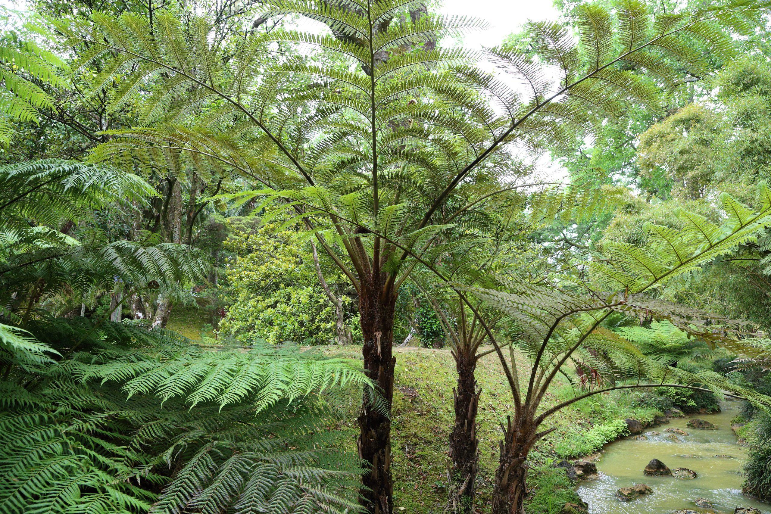 Cyathea sp. Un helecho arborescente con unas hojas enormes.