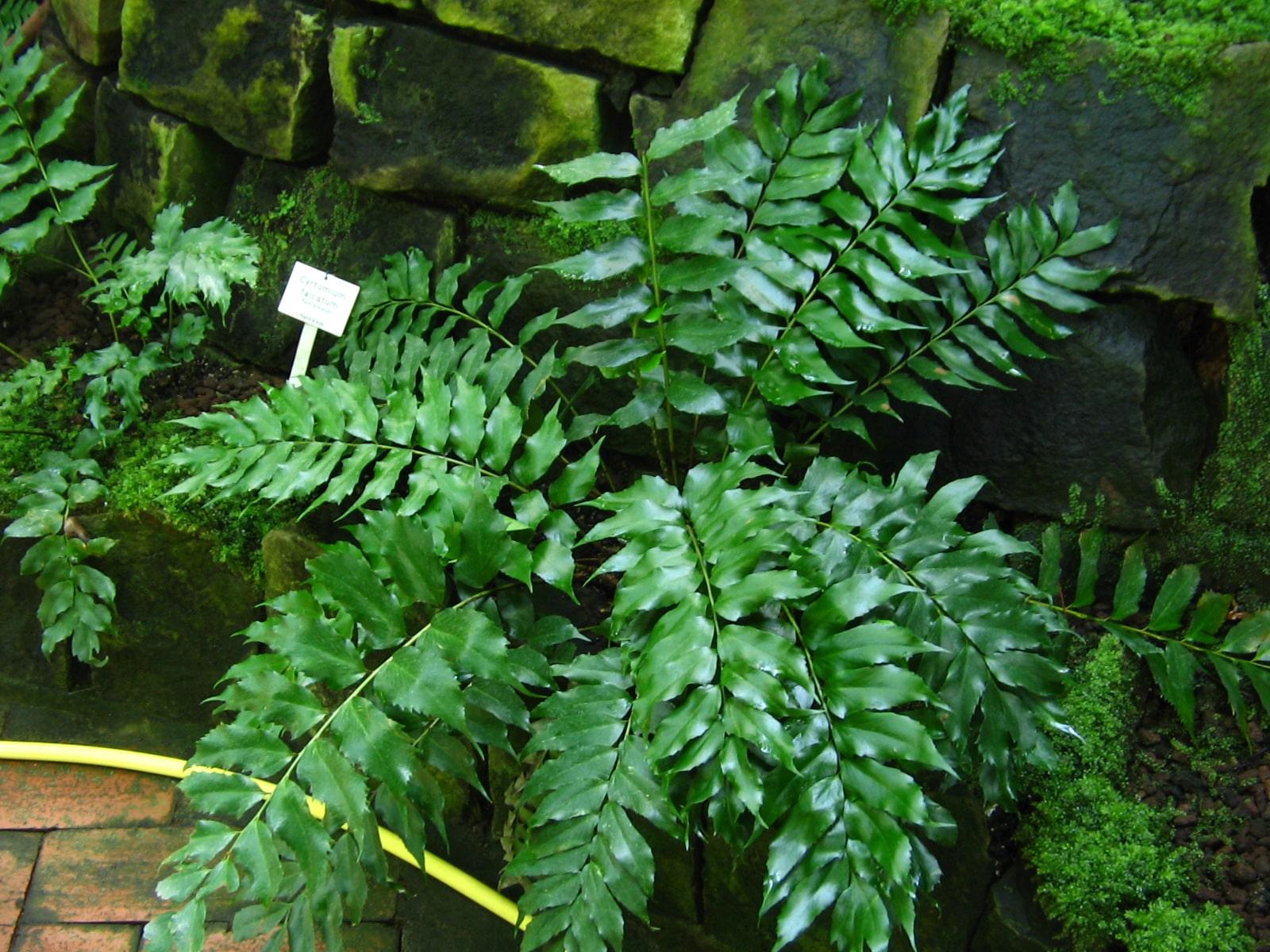 Cyrtomium falcatum, un helecho que se considera invasor en las Canarias.