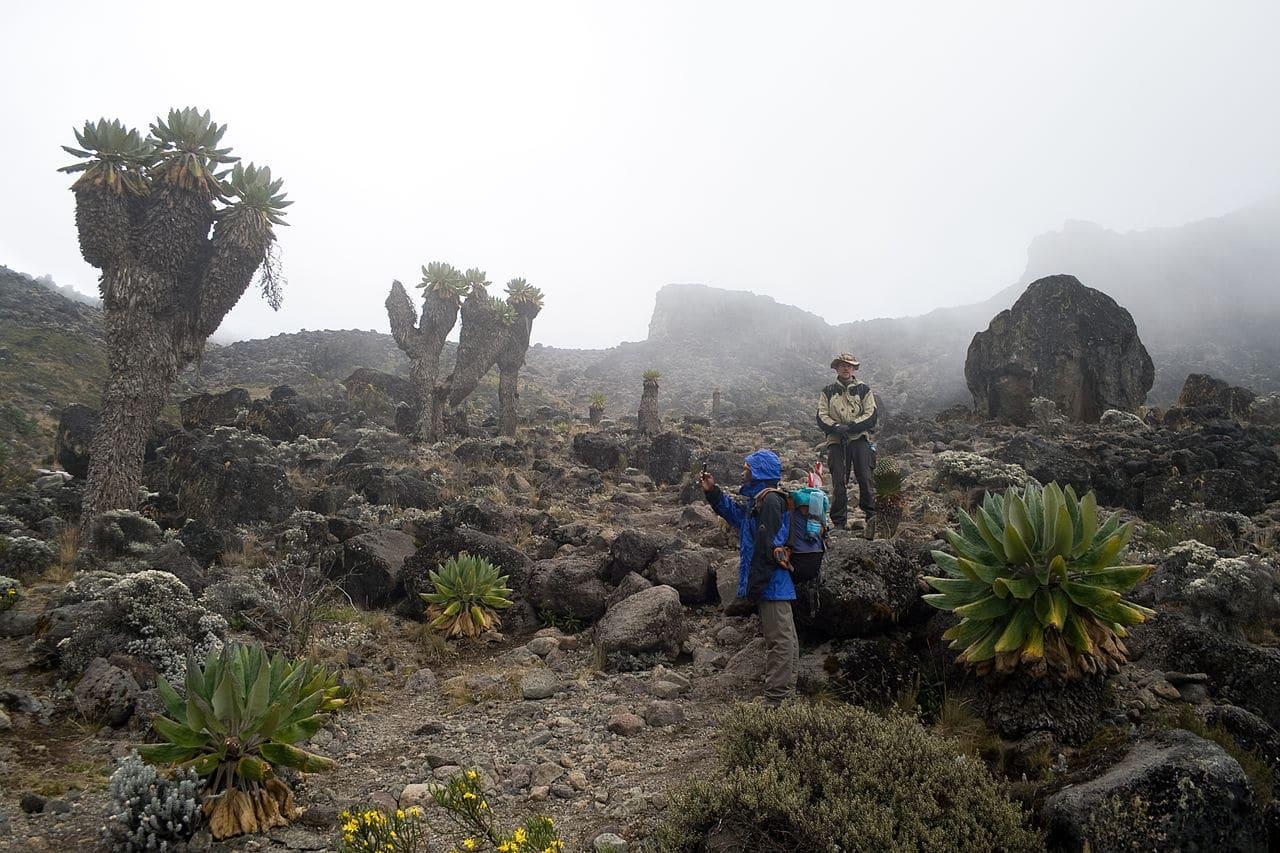Dendrosenecio kilimanjari en hábitat