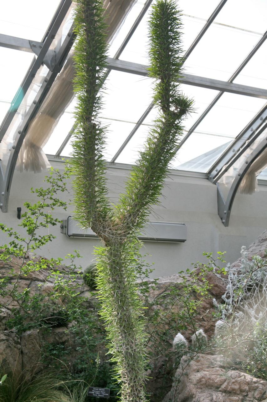 Didierea madagascariensis en invernadero