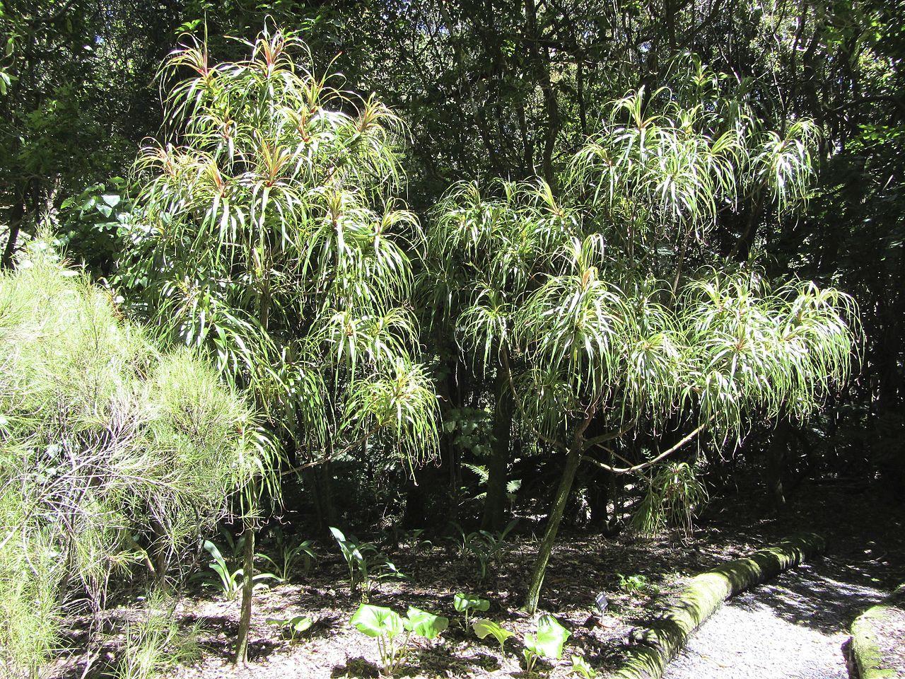 Dracophyllum, uno de los árboles más raros