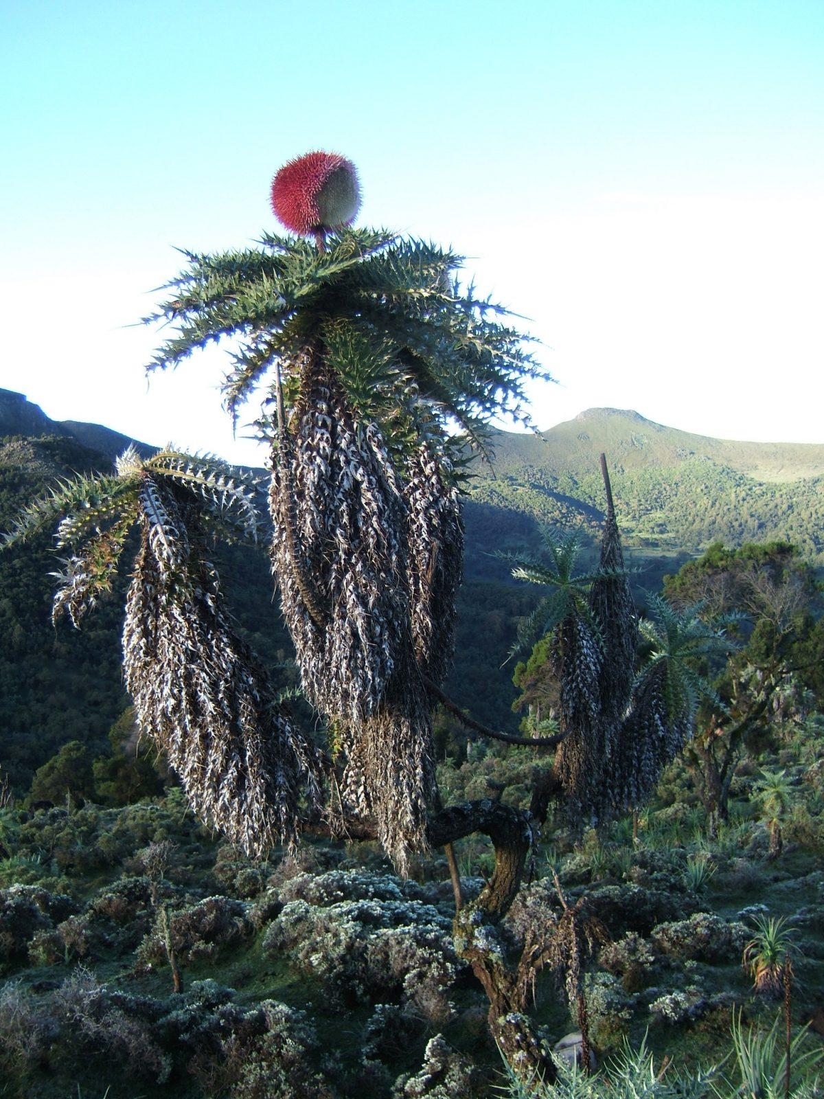 Echinops longisetus en hábitat