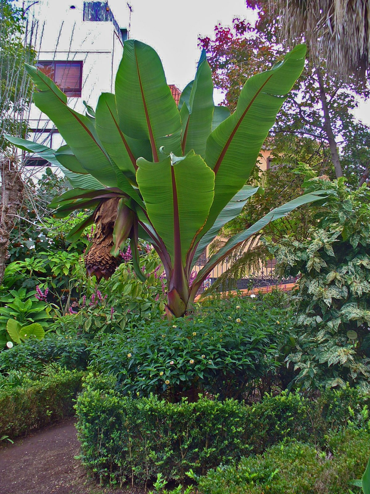 Ensete ventricosum en jardín tropical