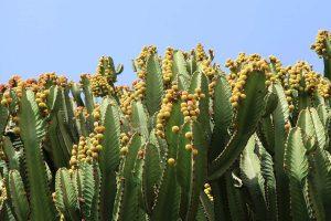 Euphorbia abyssinica con frutos en sus ramas