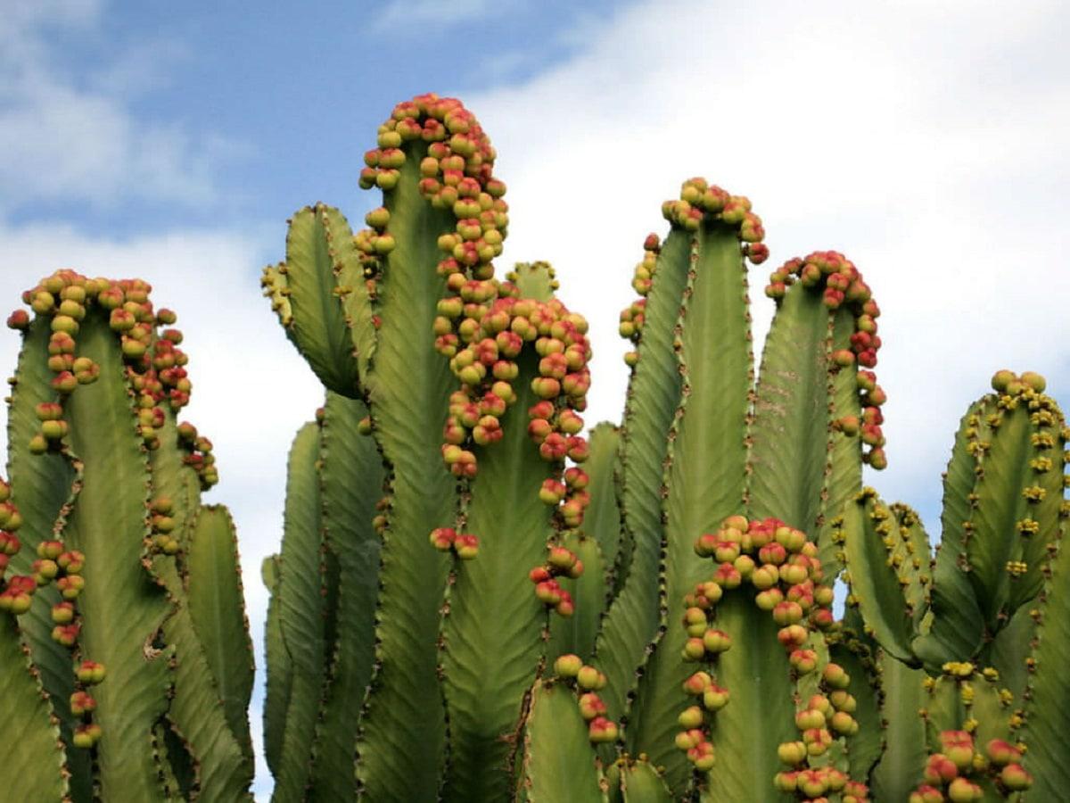 Euphorbia acrurensis o vela del desierto