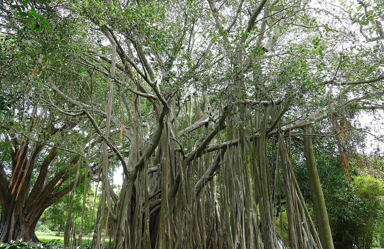 Aspecto Ficus benghalensis