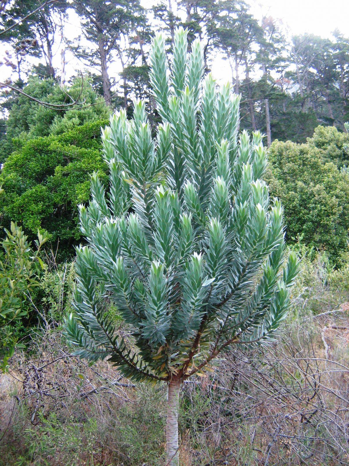 Ejemplar joven de Leucadendron argenteum