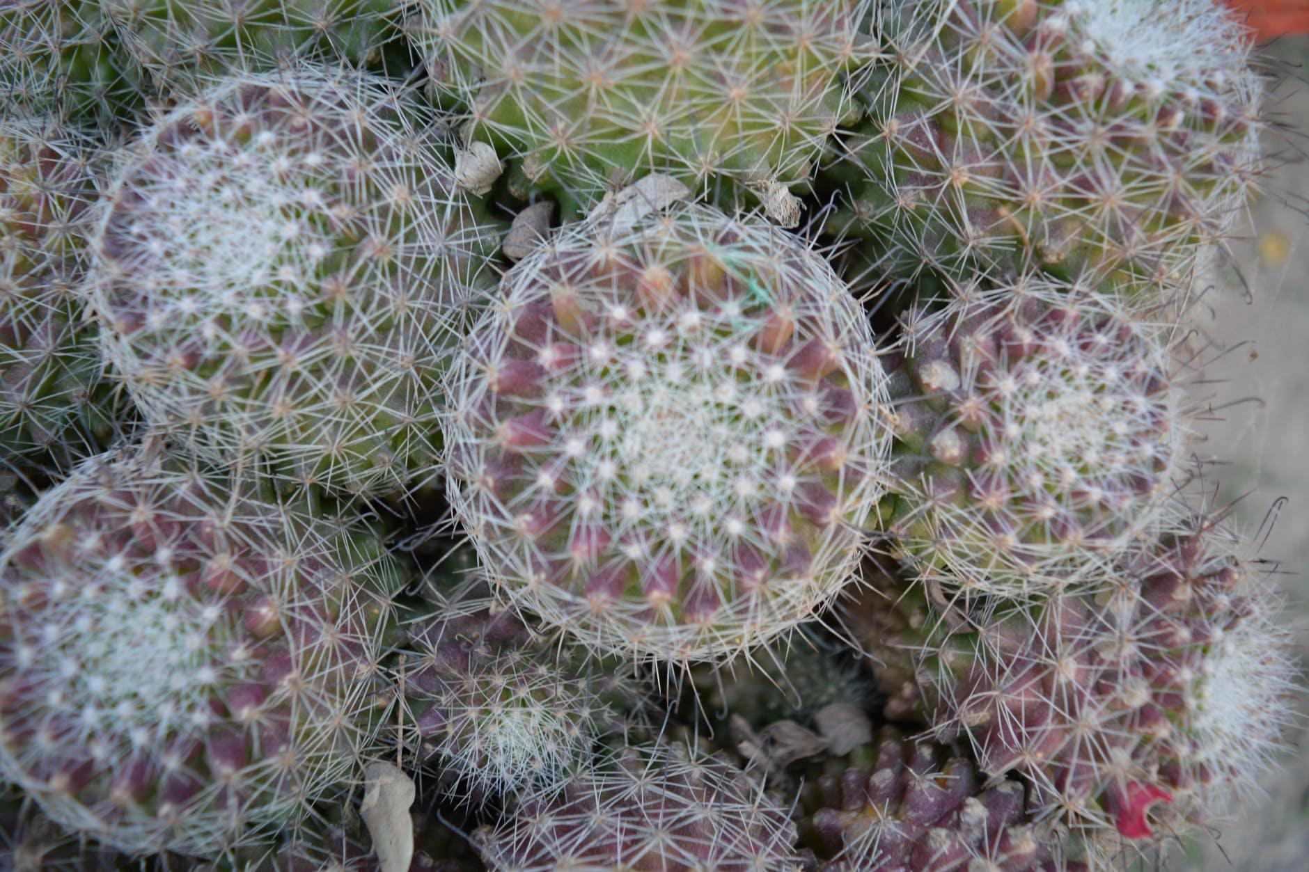 La la planta puede mostrar la falta de agua o exceso de sol adquiriendo coloraciones rojizas.