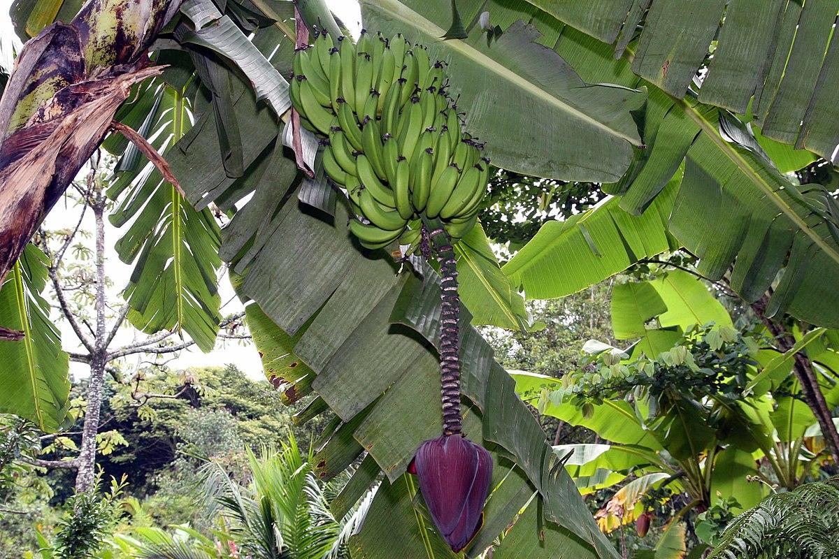Plátanos en Musa acuminata
