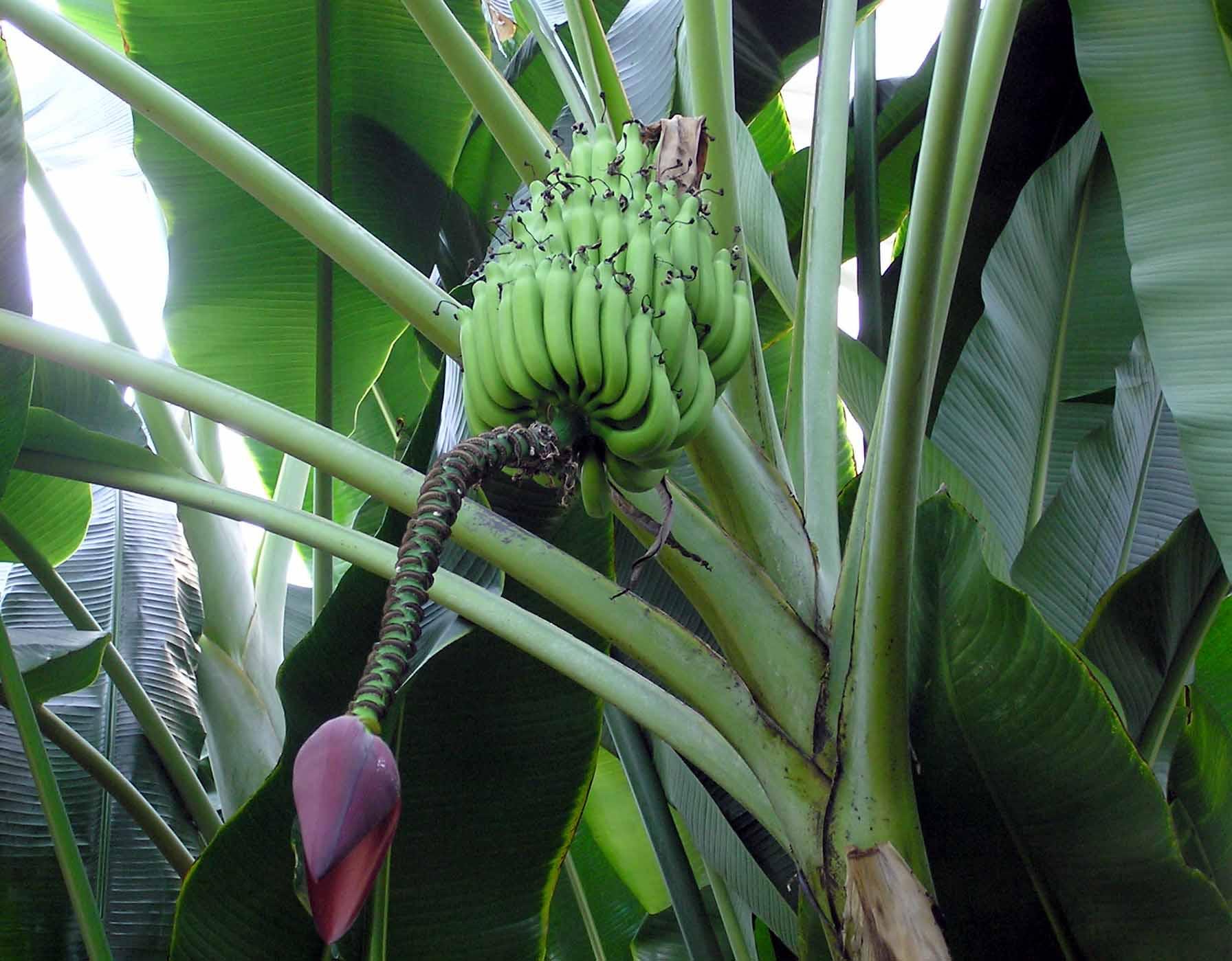 Plátanos de Musa balbisiana