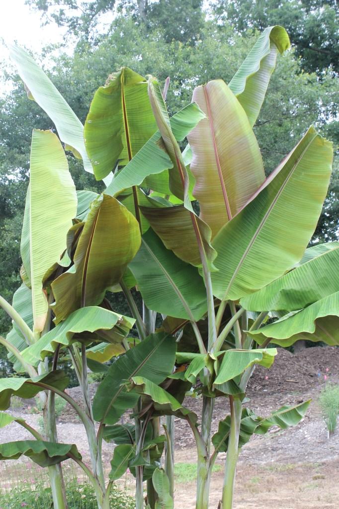 Musa ´Helen's hybrid', platanero comestible resistente al frío.