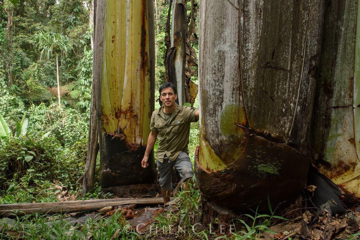 Pseudotallo de Musa ingens, el platanero más grande del mundo.