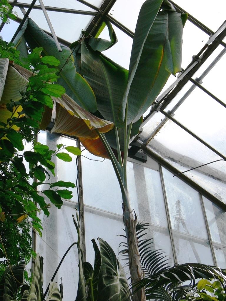 Musa nagensium en invernadero, platanero recientemente descubierto.