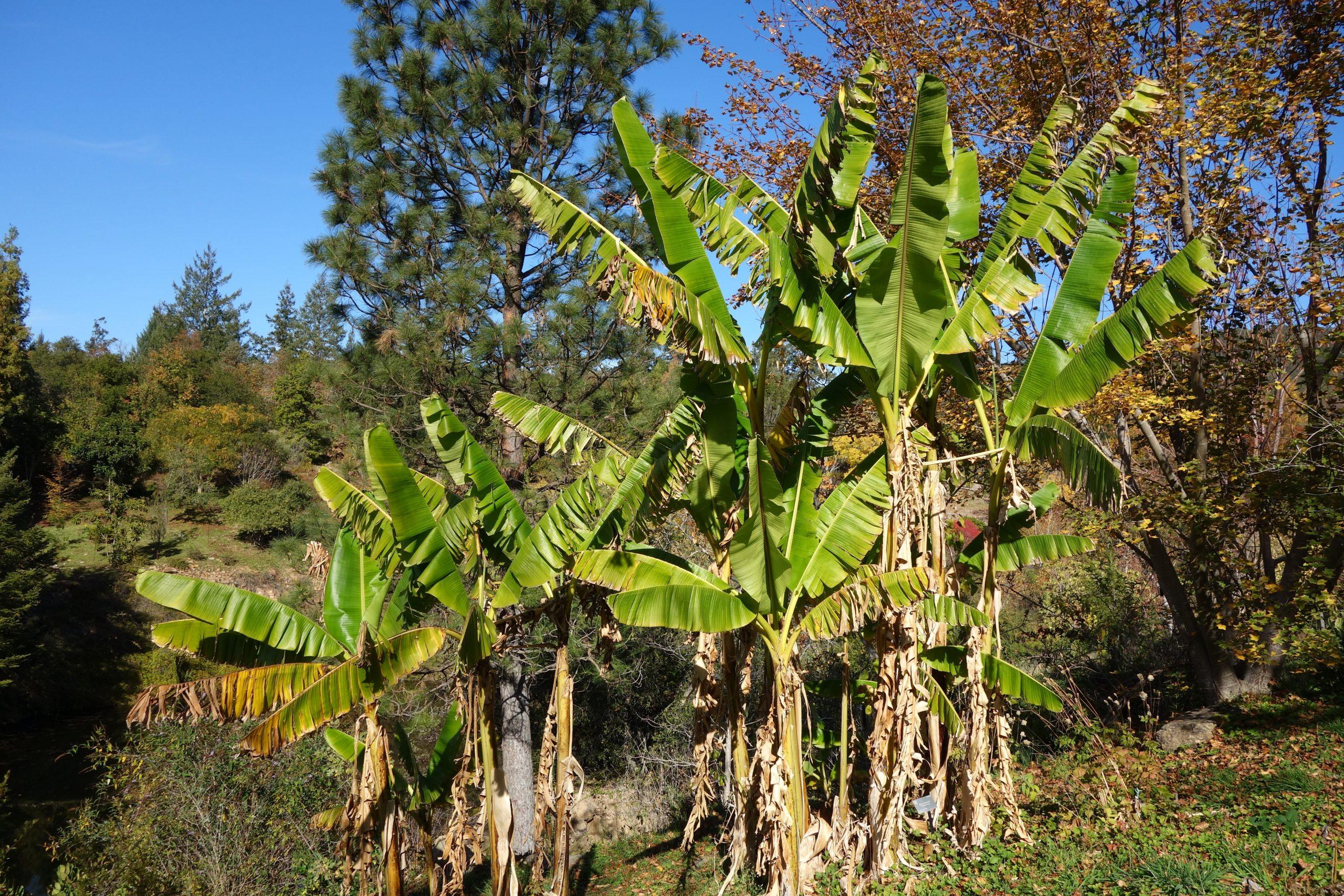 Grupo de Musa sikkimensis, uno de los plataneros resistentes más cultivados.