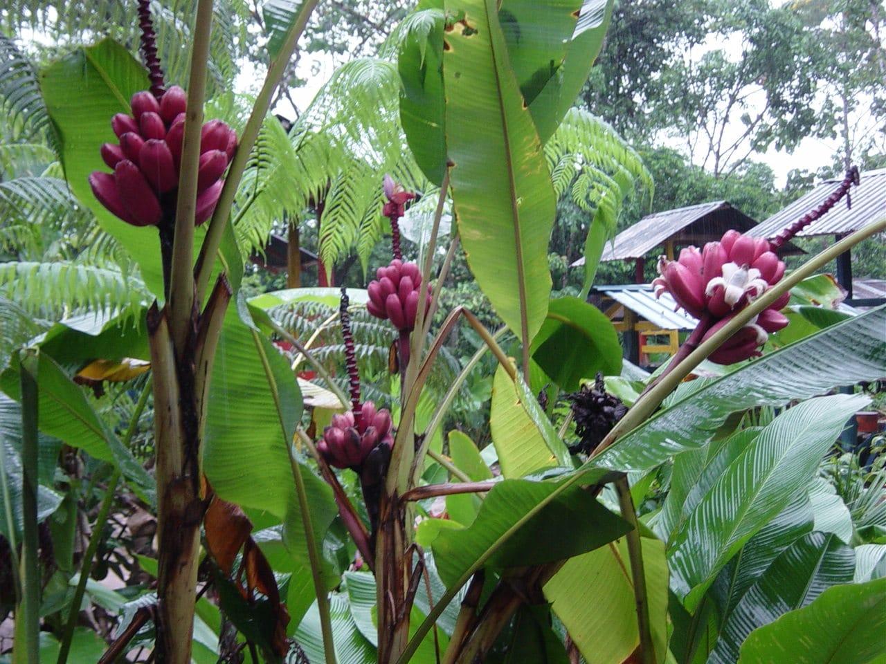 Detalle Musa velutina, platanero pequeño de frutos rosas.