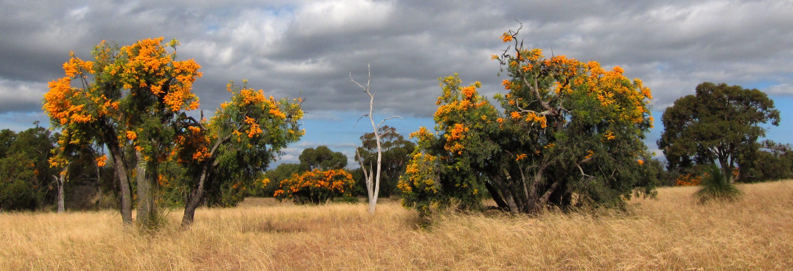 Nuytsia floribunda en hábitat