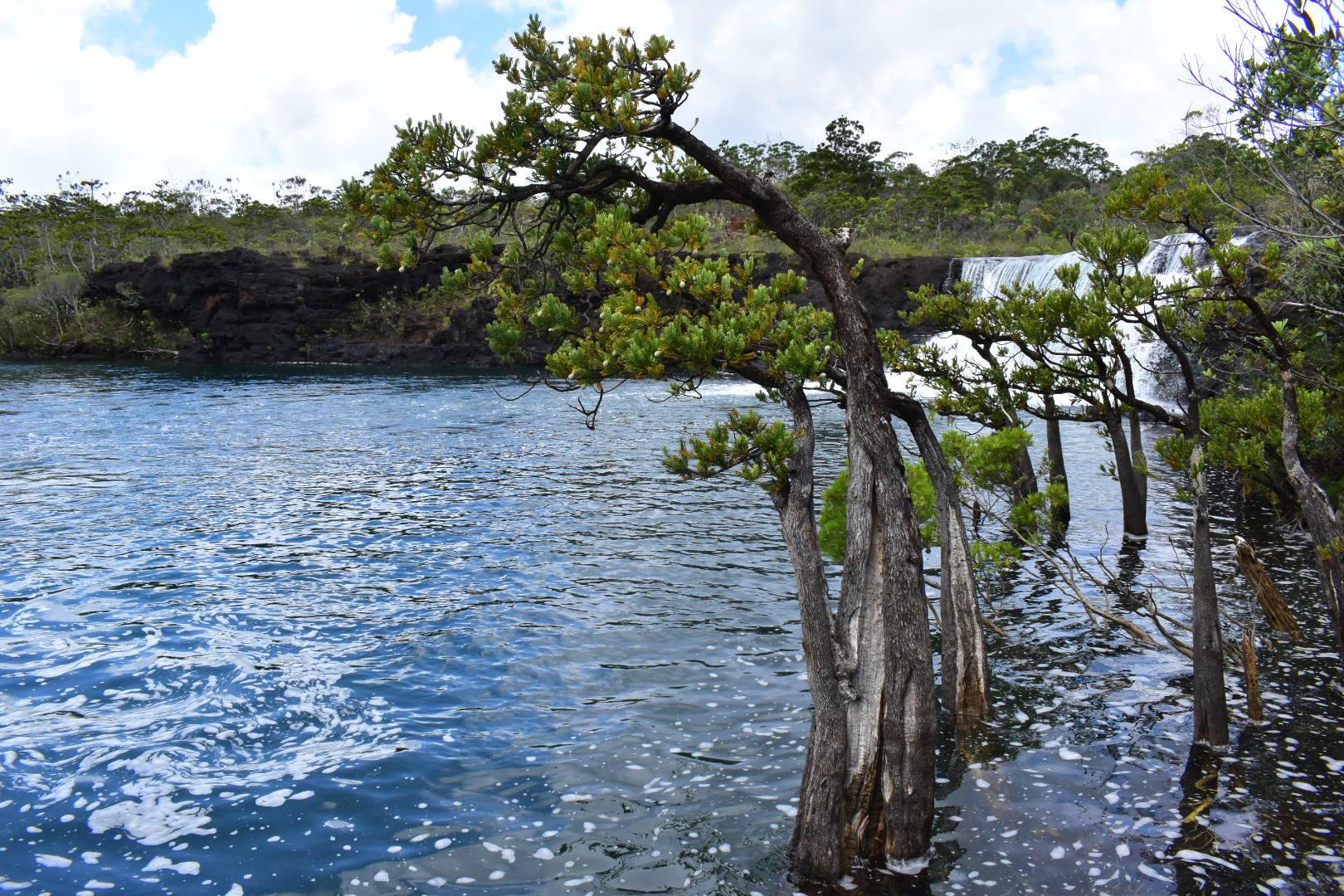 Retrophyllum minus creciendo en un lago