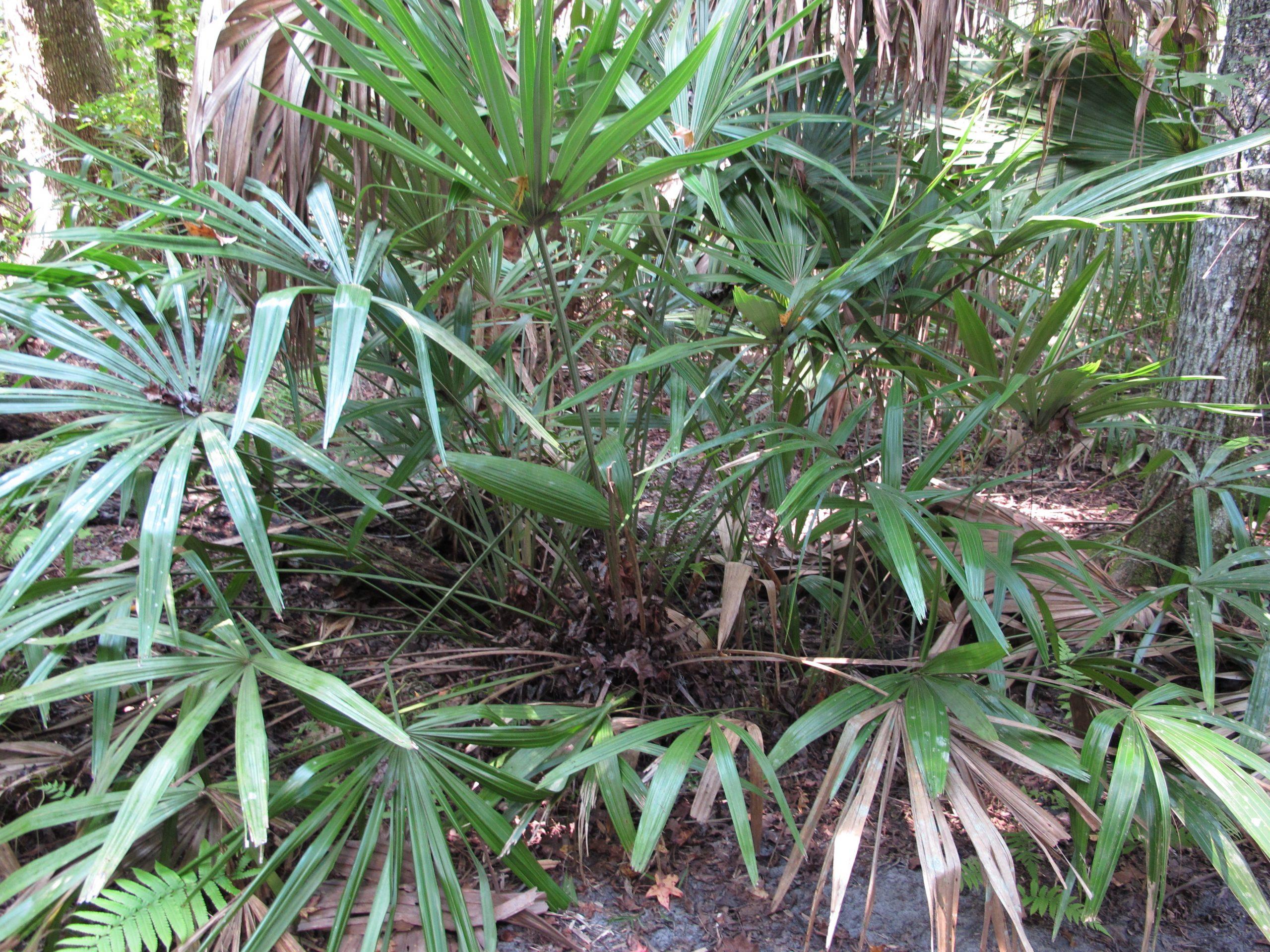 Rhapidophyllum histrix a la sombra