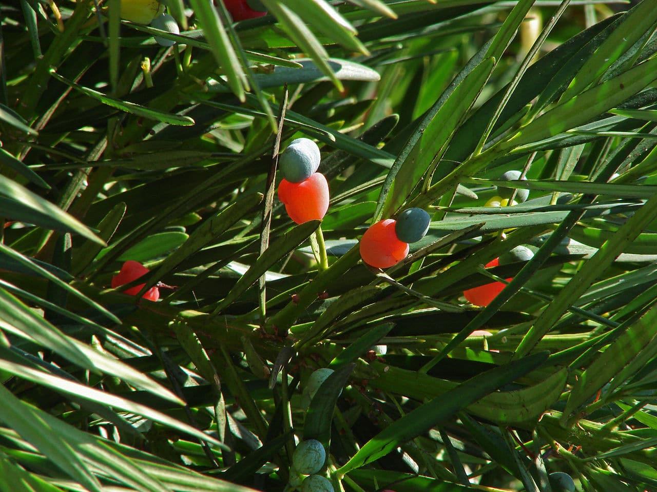 Detalle de los frutos y las hojas de podocarpus