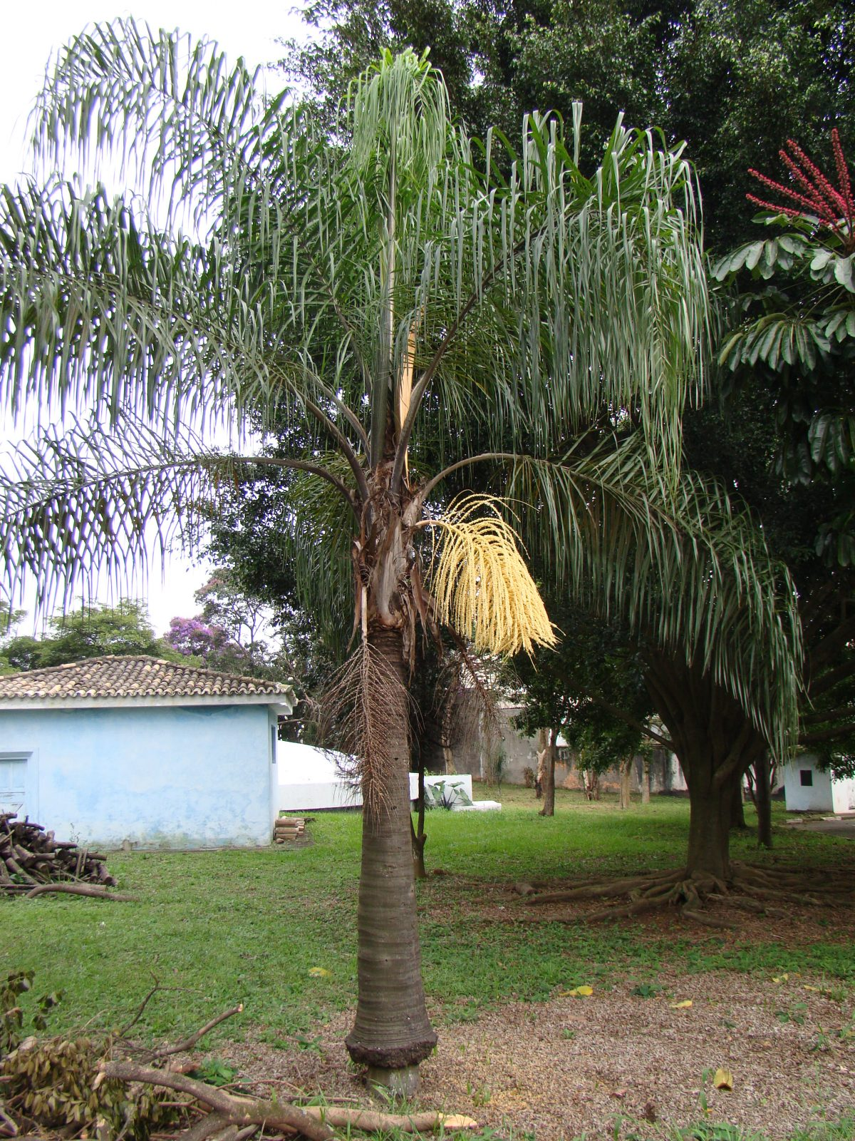 Syagrus romanzoffiana, una palmera muy común