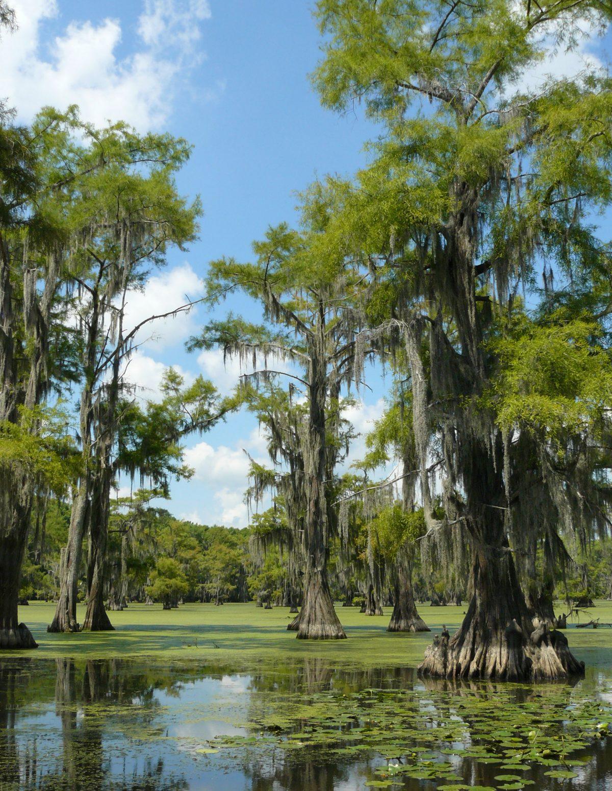 Taxodium distichum creciendo en pantano