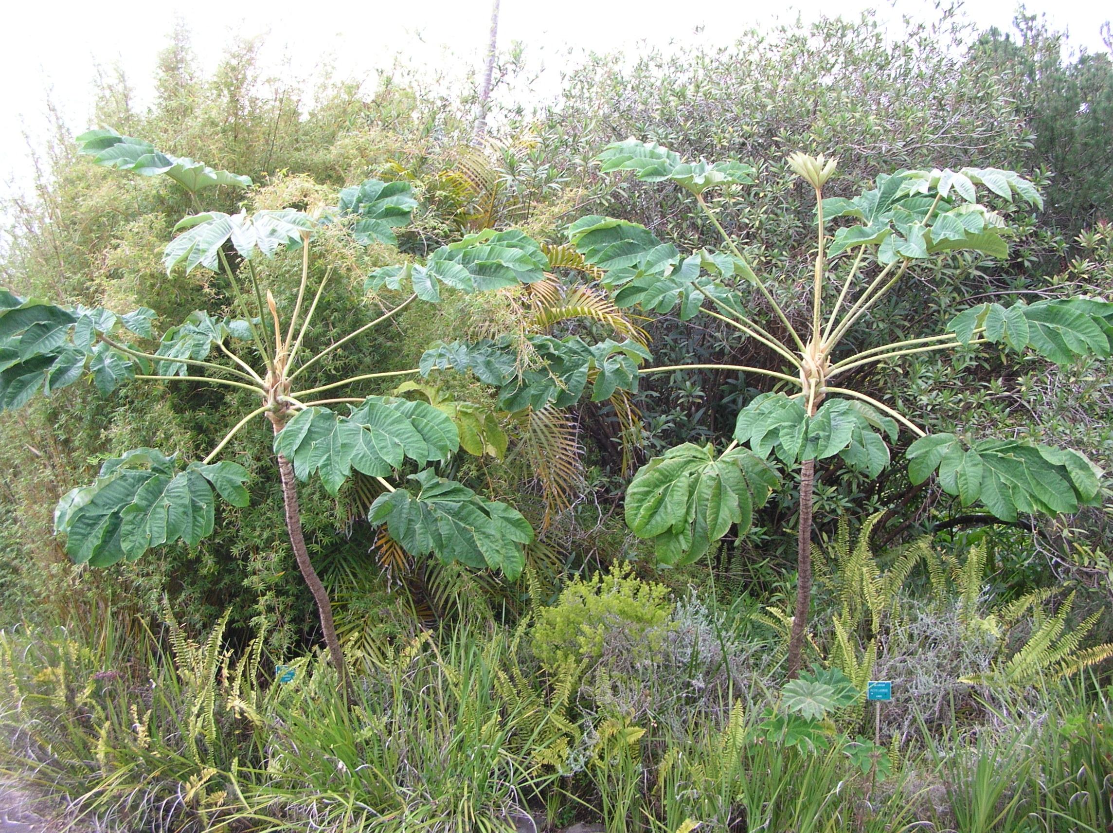 Tetrapanax papyrifer, una de las plantas que encontramos en cualquier jardín tropical de climas fríos.