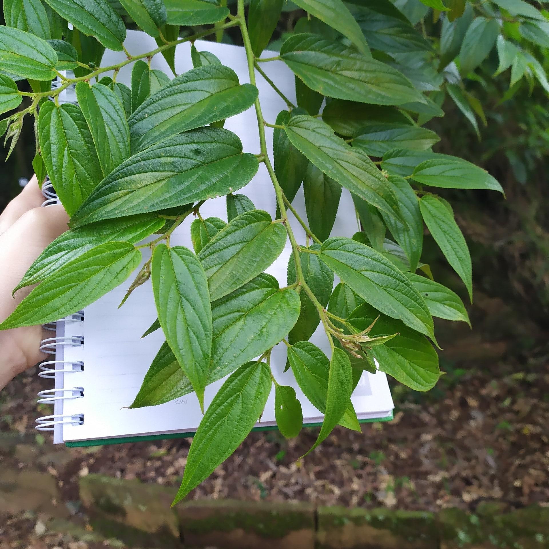 La Trema micrantha es un árbol