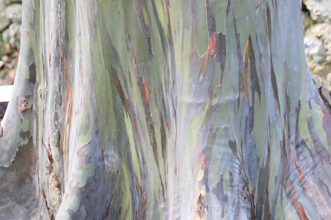 Tronco de eucalipto arcoíris