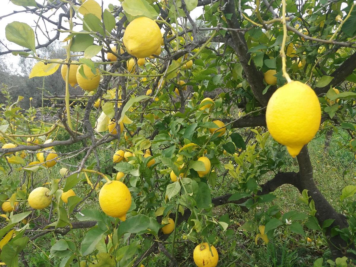 Variedades de limonero