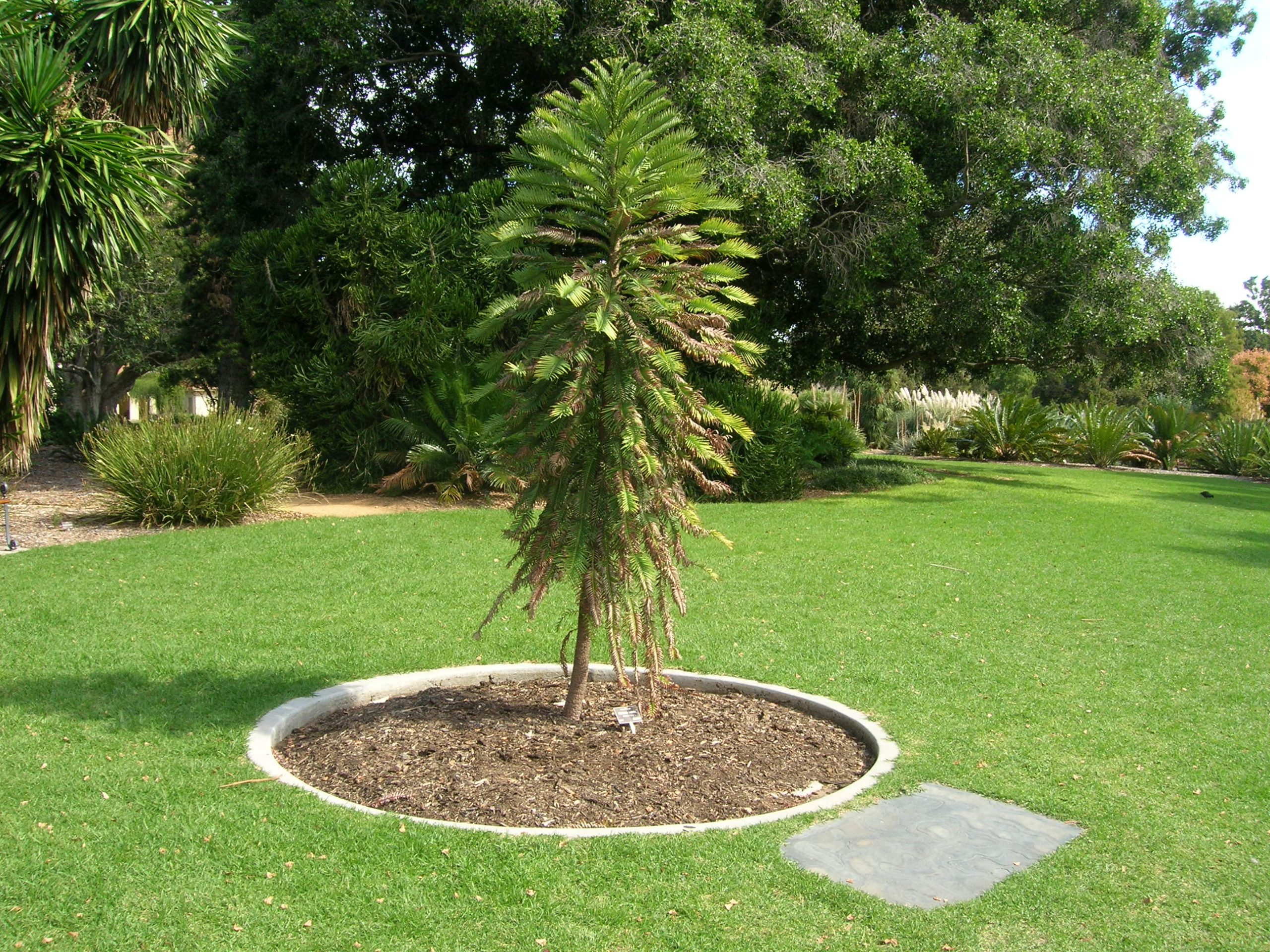 Wollemia nobilis en jardín