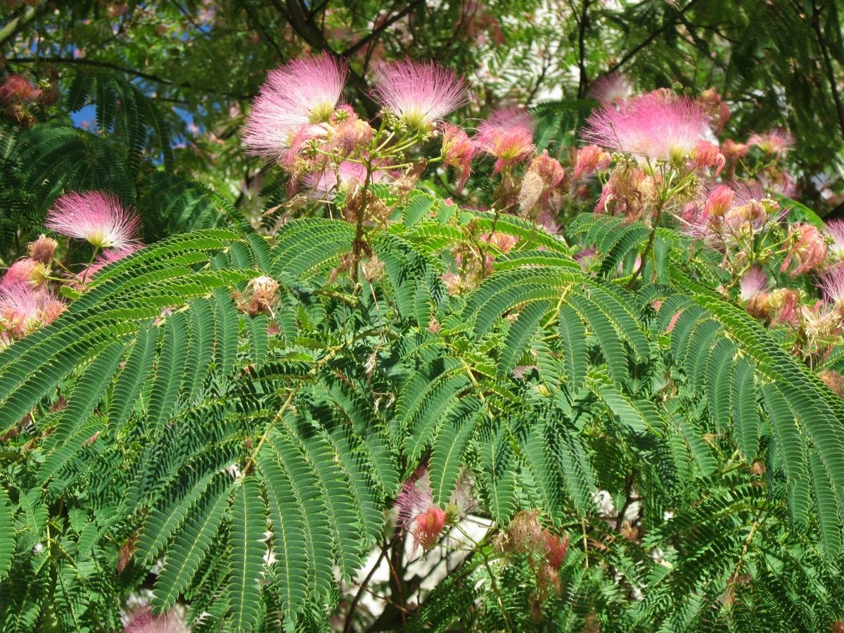 La Albizia julibrissin es un árbol de flores rosas