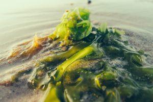 Las algas son de las plantas más primitivas que existen