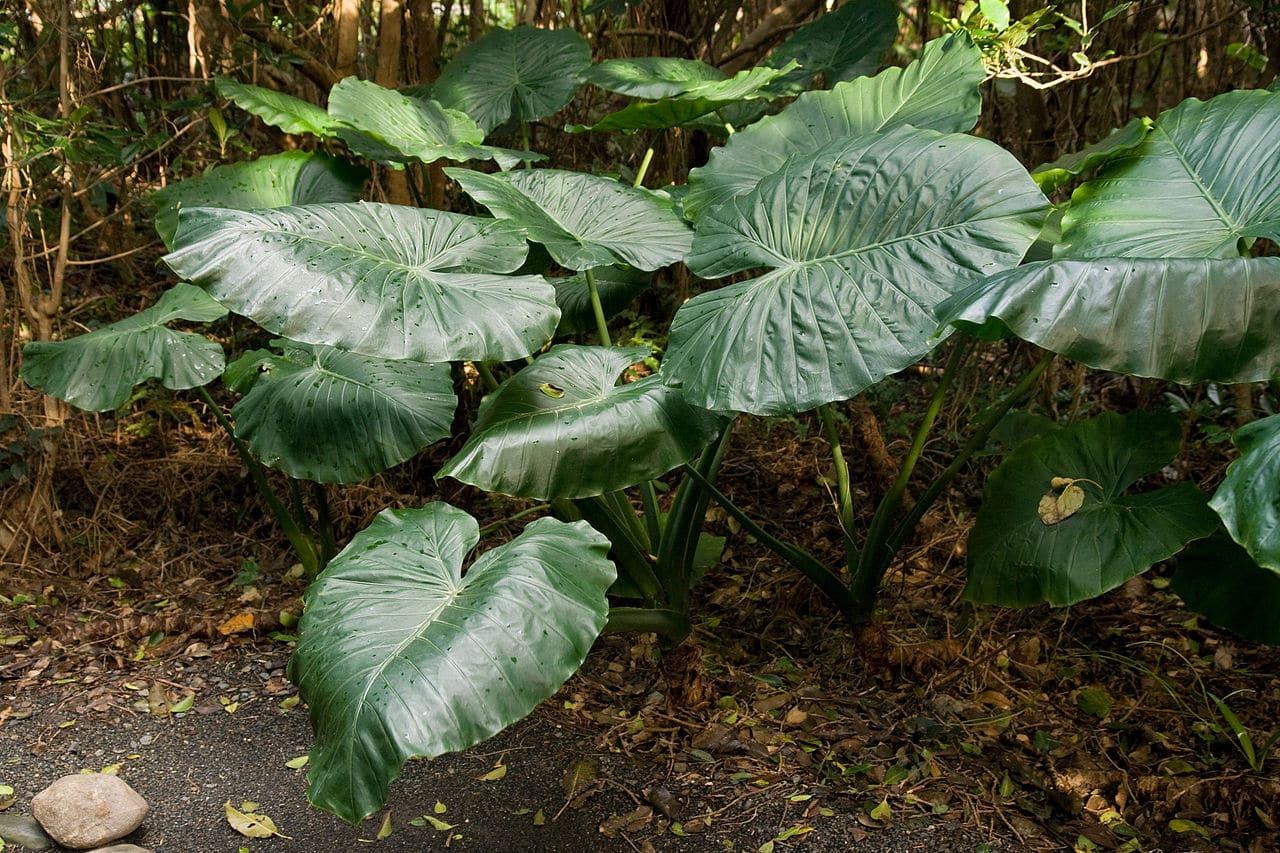 La Alocasia odora es una planta que tiene hojas grandes