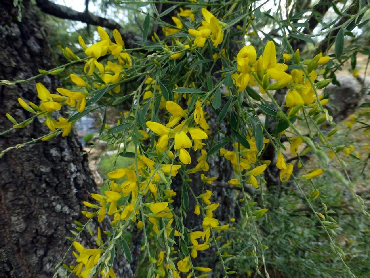 arbusto con flores de color amarillo