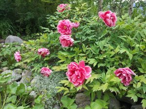 arbusto lleno de flores rosas