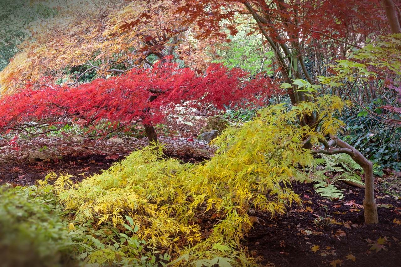 Los arces japoneses son árboles caducifolios