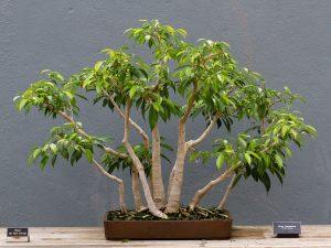 El bonsái de Ficus benjamina es perfecto para principiantes