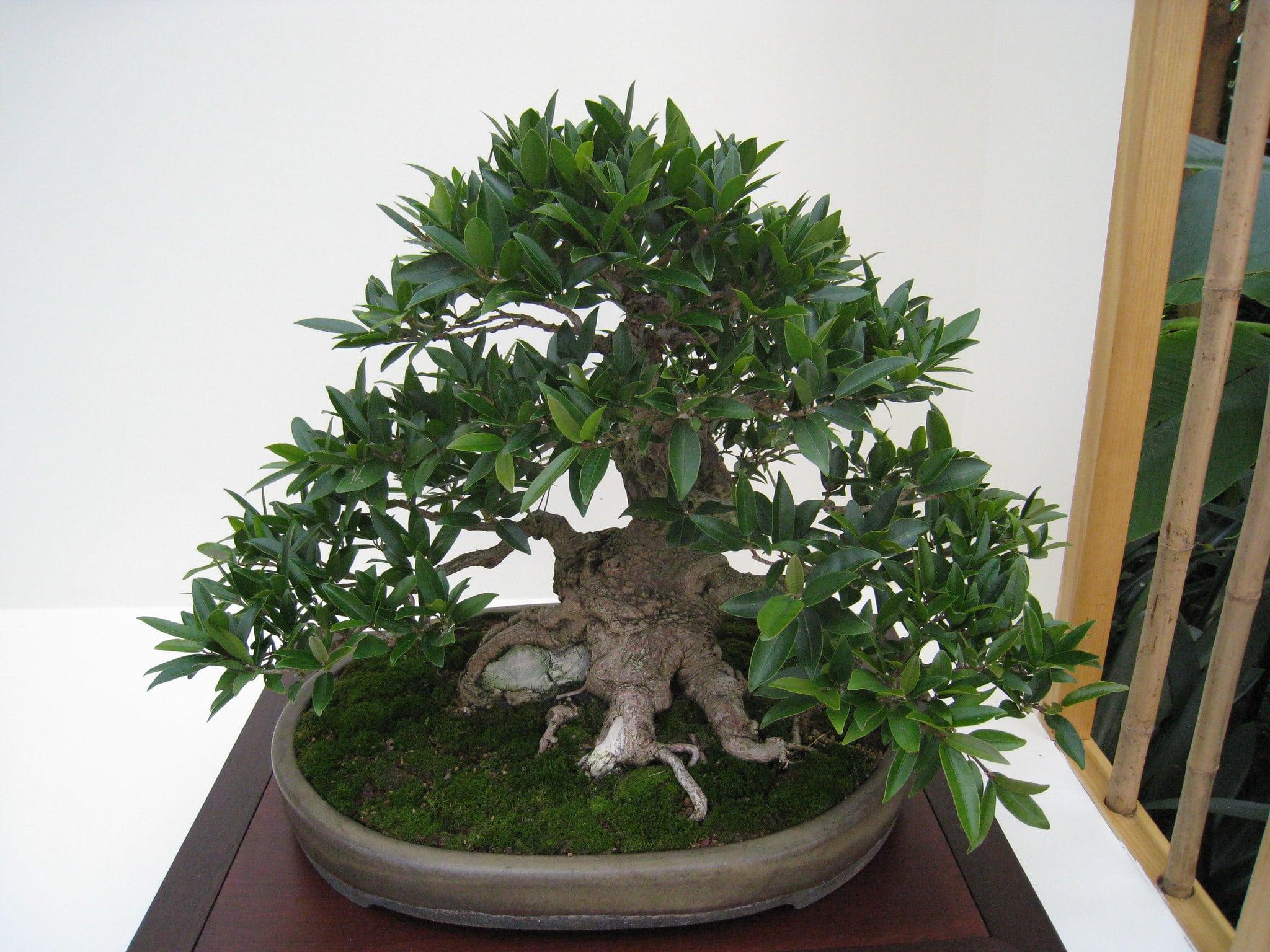 Bonsái de Ficus benjamina en una exposición