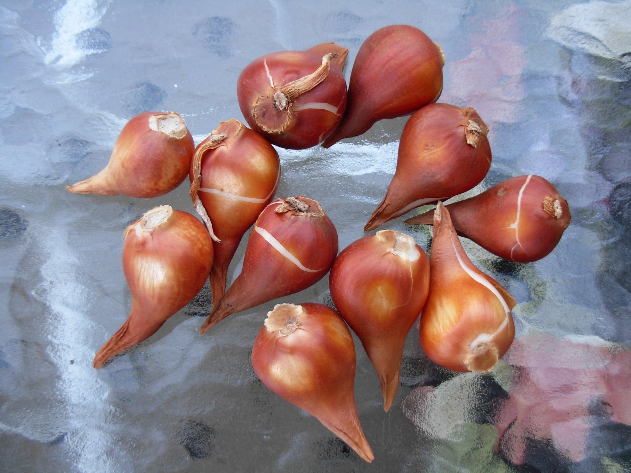 Los bulbos de tulipán se conservan en lugares secos