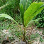 La palmera cocotera es de rápido crecimiento