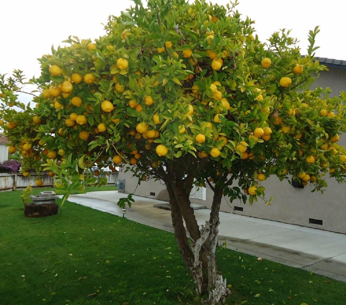 cuidados del limonero en el jardin