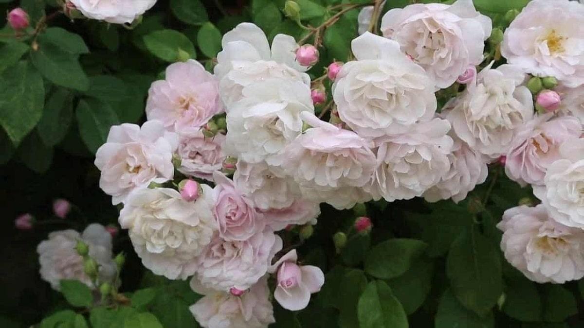 cuidados del rosal mini en interiores