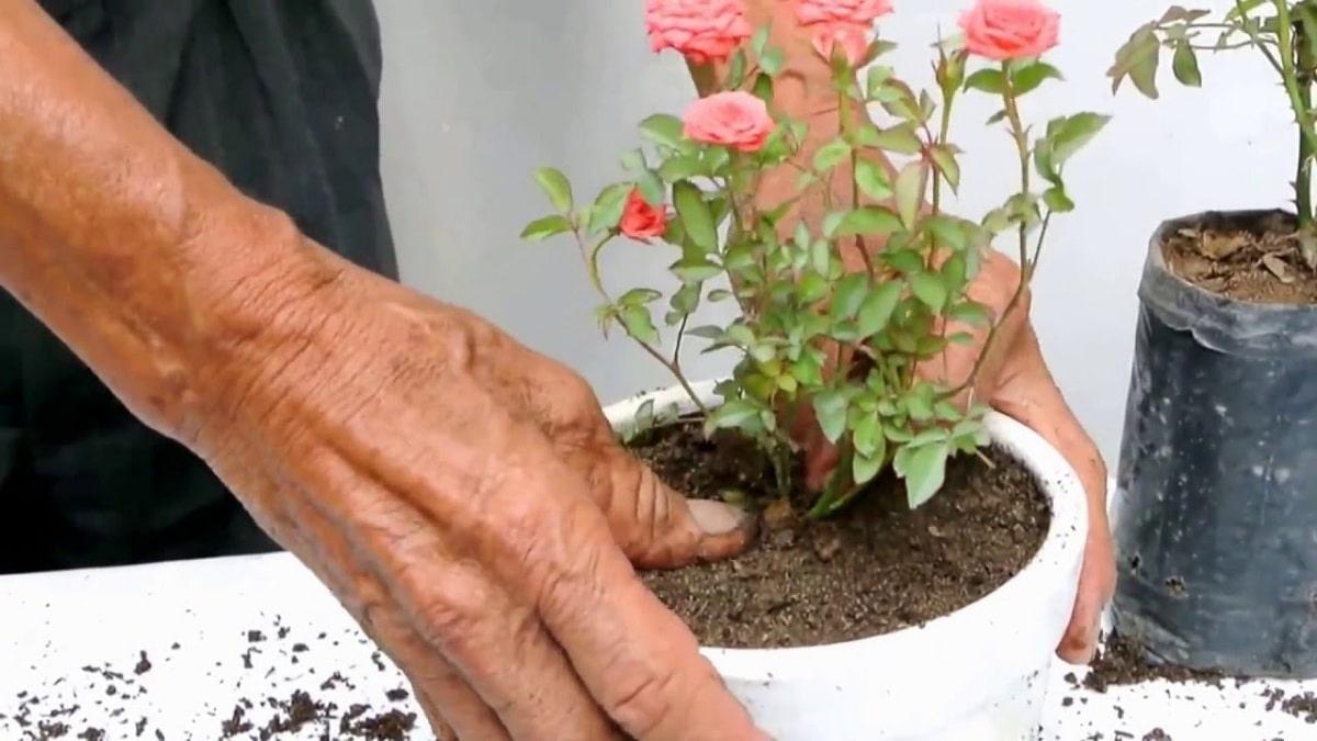 cultivo del rosal en interiores