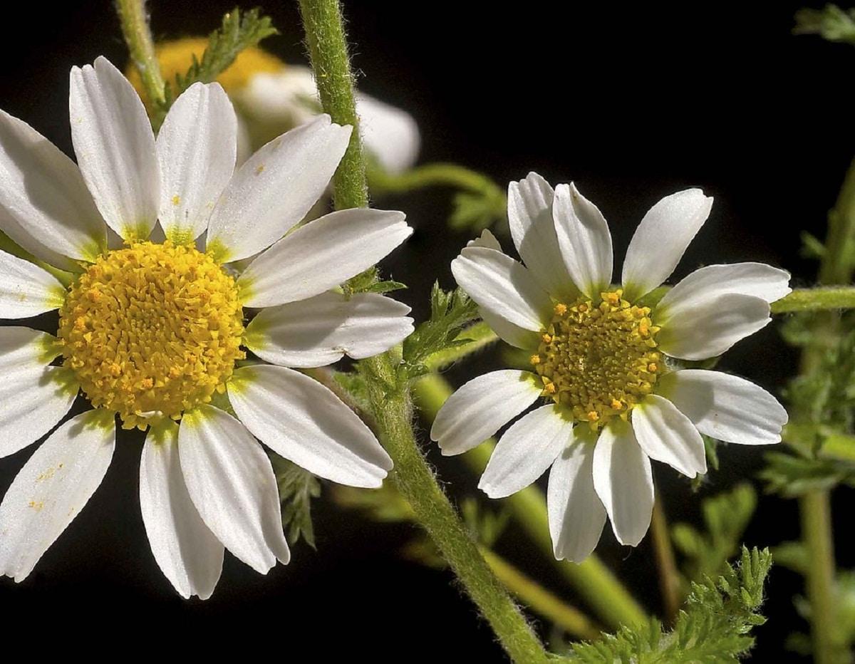 dos bonitas imagenes de las flores de la manzanilla loca o Anacyclus clavatus