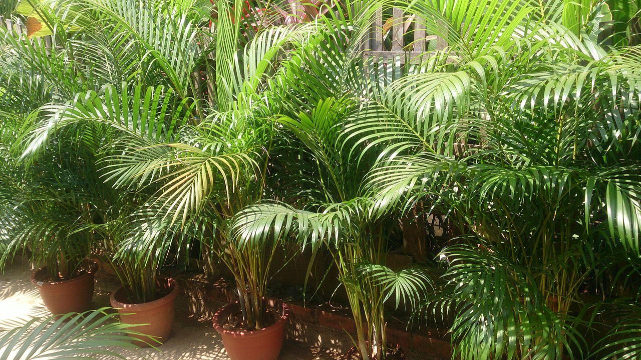 La Dypsis lutescens es una palmera multicaule