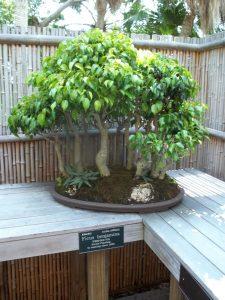 El Ficus benjamina se puede trabajar como bonsái